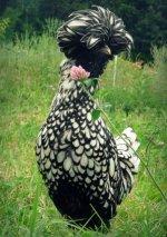 polish chicken.jpg