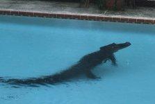 alligator-1-0505.jpg